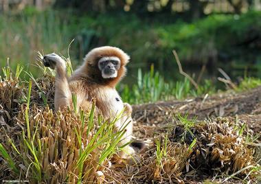 Gibbon-Zoo-des-Sables---S