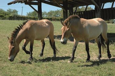 Le Thot Les chevaux de Prewalski_semitour