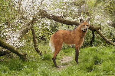 Loup-a-criniere-Zoo-des-Sables---S