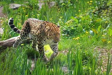Panthere-de-l-amour---Zoo-des-Sables---S