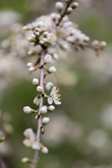 Prunelliers-1 © Hervé Gallepy