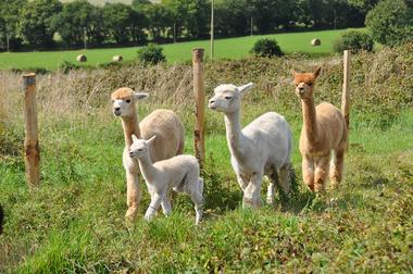 Alpagas du Rompay - Gourlizon (7)