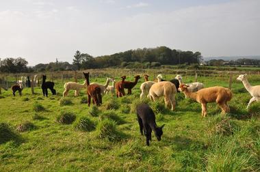 Alpagas du Rompay - Gourlizon