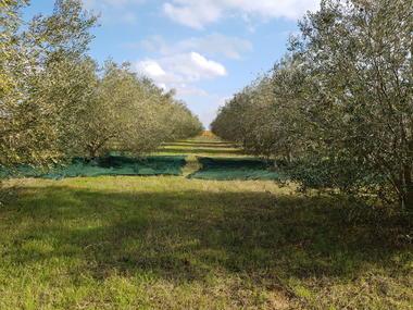 Majubier-Olives-6