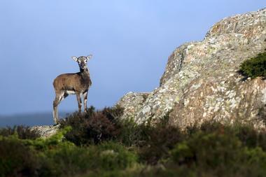 Mouflon du Caroux©G.Souche PHLV