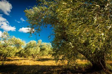 Fleur d'olive-Nissan Lez Enserune_20