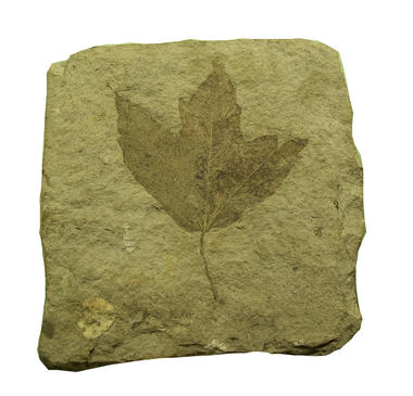 feuille fossile