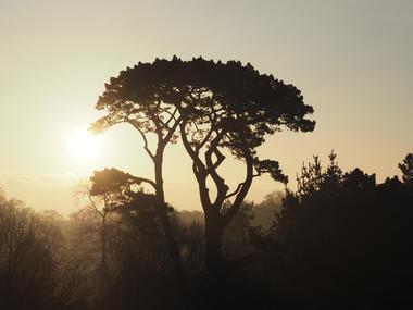 Pinus Radiata - Malouinière du Montmarin - Pleurtuit