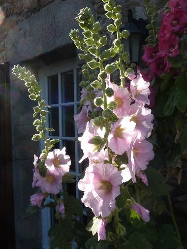 Roses trémière - Ferme de la Vieuville - Cancale
