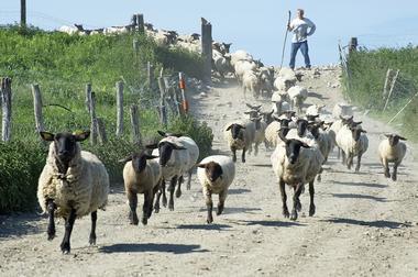 SARL Saveurs de Prés Salés - Agneaux AOP - producteur local d'agneaux des prés salés - Roz sur Couesnon