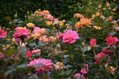 roses_jardinsbroceliande_breal_estellegregoire