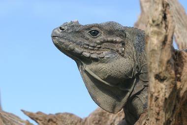 Cyclura cornuta (iguane rhinocéros)