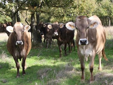 Ferme de Cabriole Vaches