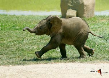 bébé éléphant Makéba court african safari PLAISANCE