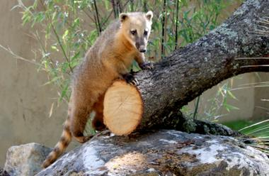coati roux  african safari PLAISANCE