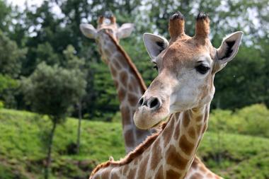 girafes zoom  african safari PLAISANCE