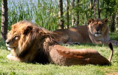 lion et lionnei african safari PLAISANCE