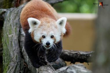 panda roux zoo 1 african safari PLAISANCE