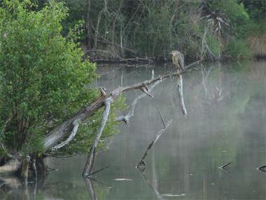 Les bihoreaux s'observent facilement au crépuscule sur la lagune de Contaut