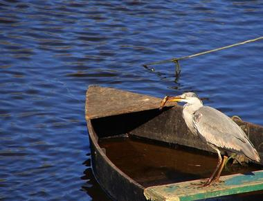 heron-cendre-credit-photo-simon-dutilleul-584754