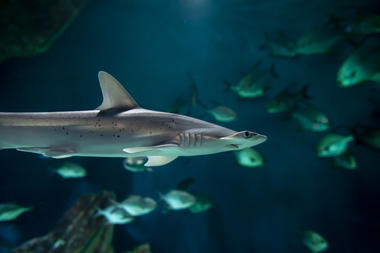 requin-marteau(c)FALM-aquarium-larochelle