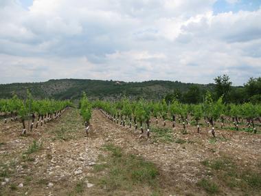 vigne2 domaine souleillan