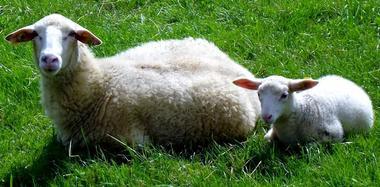 Brebis avec agn OK