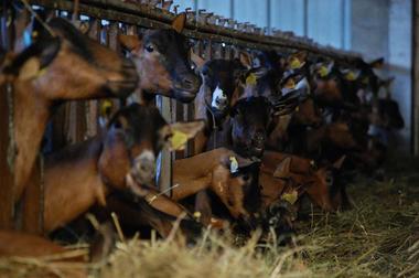 Fermes Les Alpines Loubressac Chèvres