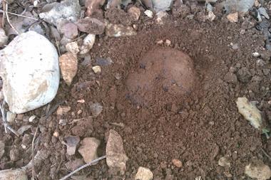 truffe noire