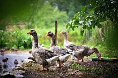 Les oies du Lot_08 © Lot Tourisme - C. ORY