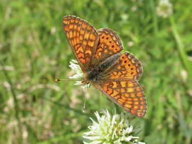 Papillon Le Damier de la Sucisse  en Prairie