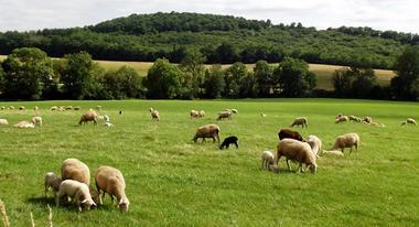 Troupeau avec agneaux OK