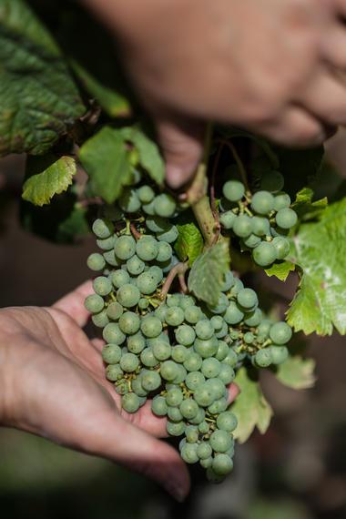 Travail de la vigne, CHâteau Fantou à Prayssac_06 © Lot Tourisme - C. ORY