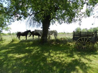 combelcau-chevaux