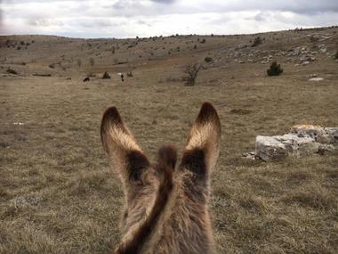 oreilles-d-ane-sur-le-Causse