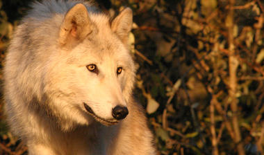loups-du-gevaudan_04