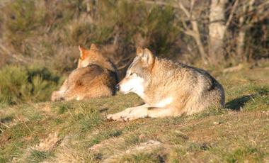 loups-du-gevaudan_05