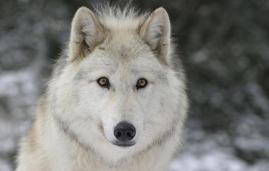 loups-du-gevaudan_06