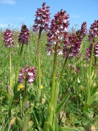 Orchidées sauvages