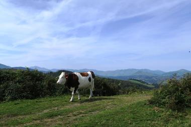 Vache solo TS