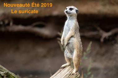 Zoo-labenne-Suricate-OTI LAS