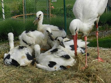 Les Cigognes Altavilloises  - Hautvillers