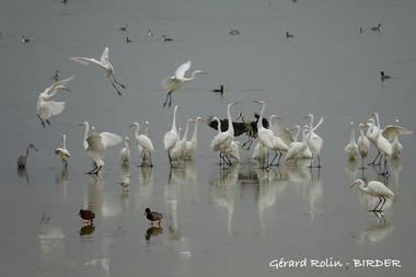 Grandes aigrettes -Birder - LAC DU DER
