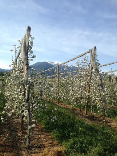 Arbres fruitiers en fleur