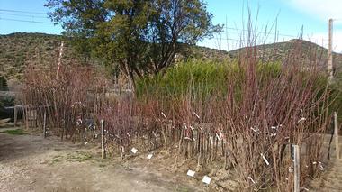 Présentation de plants d'arbres