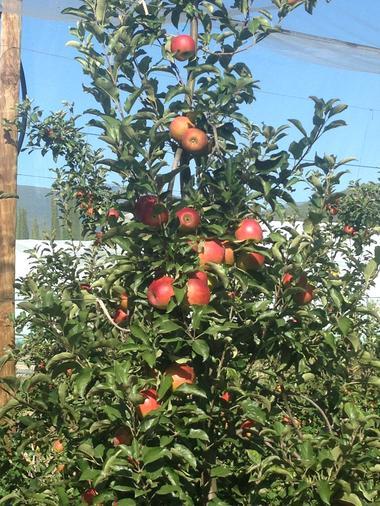 Pommes prête à récolter