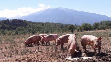 tiretaps-cochons-exploitation
