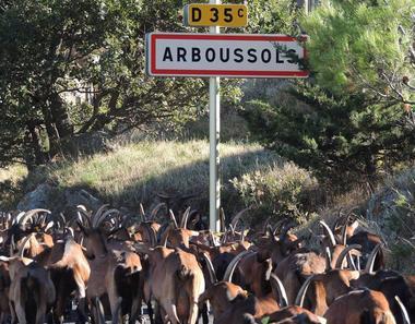 Balade des chèvres à Arboussols