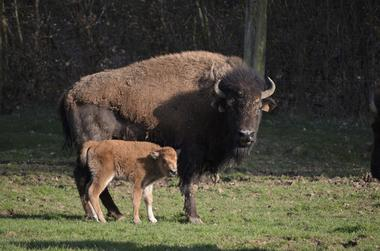 Rêve de bisons - Muchedent