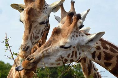 natur-zoo-mervent-girafe-85200